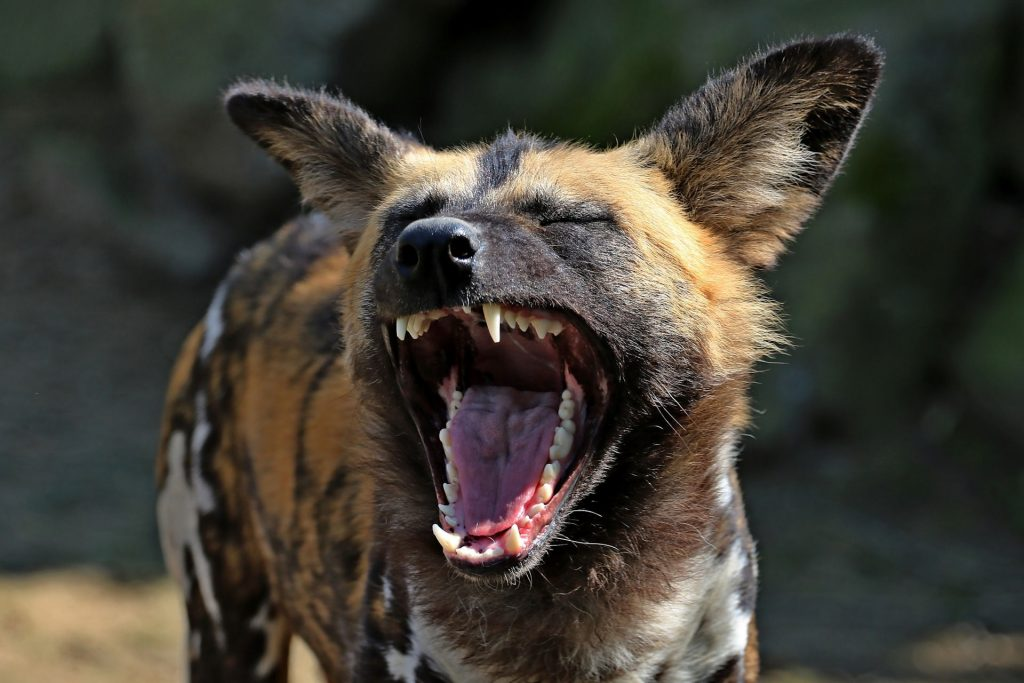 Hyena producing a fake laugh at a Tourist Guide's joke